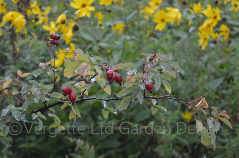 Rosa glauca in all its Autumn finery with glossy red hips